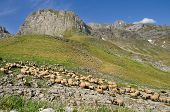 Flock of sheep in the mountain of Durmitor