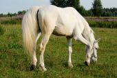 White horse in a pen