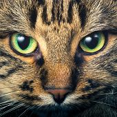 Close-up portrait of green-eyed Siberian cat