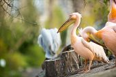 beautiful white pelican (Pelecanus onocrotalus)