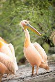 great white pelican standing, Pelecanus onocrotalus