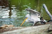 Dalmatian pelican next water fishing (Pelecanus crispus)