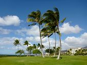 Coconut Trees On Grass Field In Park At Ko Olina