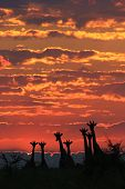 Giraffe Sunset - Wildlife Background from Africa - Family of Color and Freedom