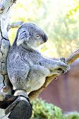 image of herbivores  - A cute adorable adult koala bear sitting on a tree grasping a branch with its claws - JPG