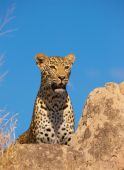 Leopard Resting On The Rock