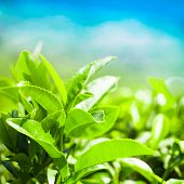Tea Leaves At Plantation Landscape Under Blue Sky. Munnar, Kerala, India. Nature Background