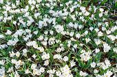 Spring White Crocuses (macro)