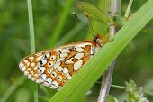 Marsh Fritillary Butterfly
