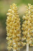 Bird's Nest Orchids