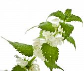 Nettle flowering  isolated on white background
