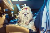Shih tzu dog sitting in car on driver seat.