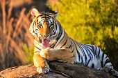 picture of wildcat  - Portrait shot of a Bengal tiger keeping itself clean - JPG