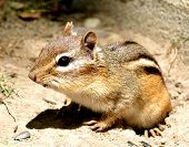 image of chipmunks  - Closeup of a chipmunk as he came out of his hole.