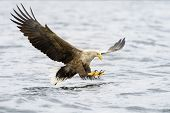White-tailed Eagle catching fish.