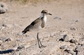 Juvenile Blacksmith Lapwing