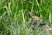 A Male Greater Painted Snipe (rostratula Benghalensis) Standing In The Reeds