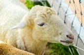 picture of billy goat  - The domestic goat  - JPG