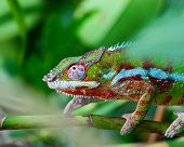 Green chameleon on the green grass