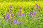 Fireweed (Chamerion angustifolium) growing beside a field of canola.