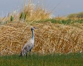 Sandhill Crane In The Grass