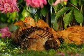 Chickens Resting Under Peony Bush