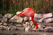 Flamingo In Lisbon Zoo