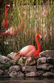 foto of flamingo  - The Flamingos or Flamingoes in Lisbon Zoo  - JPG