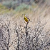 picture of meadowlark  - Male Meadowlark perched in the brush with watchful eye - JPG
