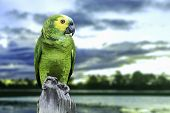Green Parrot in Pantanal, Brazil