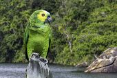 Green Parrot in Amazon, Brazil