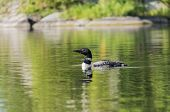 foto of loon  - Selective focus on a loon on a tranquil northern lake