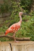 stock photo of scarlet ibis  - Scarlet Ibis Portrait shot in Athens Zoo - JPG