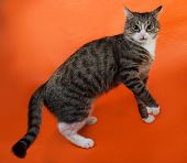 White And Striped Spotted Cat Plays On Orange