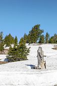 Old Dead Tree In Snow At Lassen  National Park