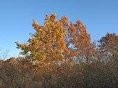 Oak and Maple Trees Changing color in fall at forest preserve