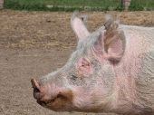 Profile Of A Pig