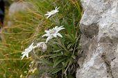 Alpenblumen Planika, kleine Edelweiss (Leontopodium, Alpinum),