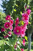 Beautiful Pink Hollyhock  Alcea Rosea In Garden