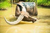 Big domestic water buffalo