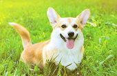 Positive Dog Welsh Corgi Pembroke On The Grass Summer