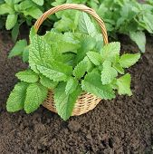 Fresh mint in basket