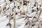 Herd Of Adult And Young Swans On The River In Winter