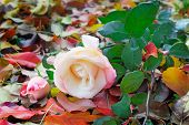 Beautiful White Rose Among The Yellow Autumn Leaves