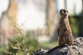 Meerkat or Surikate