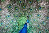 Indian Peafowl ( Peacock )