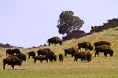 Where The Buffalo Roam In Colorado