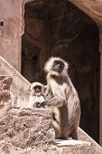 Mother And Baby Indian Gray Langurs Or Hanuman Langurs Monkey (semnopithecus Entellus)