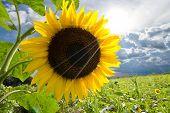 Sunflower At Thailand