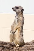 pic of meerkats  - A lone meerkat close up fur body perch - JPG